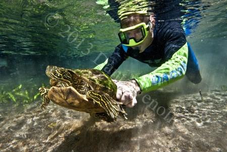 Turtle survey at Comal Springs, TX