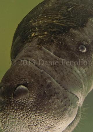 Amazon Manatee (Trichechus inunguis)