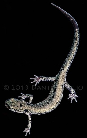 """A """"Frosted"""" Slimy Salamander (Plethodon glutinosus) from Marion Co., TN"""