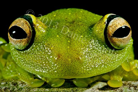 Eye-ringed Bushfrog (Hypsiboas cinerascens)