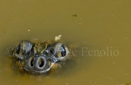 Amazonian River Turtle (Podocnemis expansa)