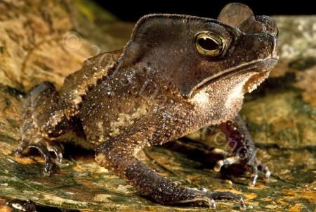 A female Amazon Leaf Toad (Rhinella margaritifera)