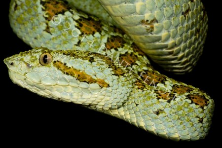 Beautiful Palm Vipers at Parque Reptilandia (Bothriechis supraciliaris)