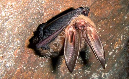 This Ozark Big Ear Bat (Corynorhinus townsendii) was flying around the cave before we even got to the cave gate.  Landed on the roof right above my head and I had time enough to snap this shot before it flew back into the depths of the system. Good thing we were there with federal officials.