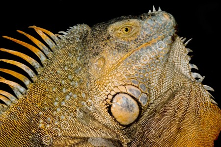 Even the Iguanas are impressive at Selva Verde Lodge