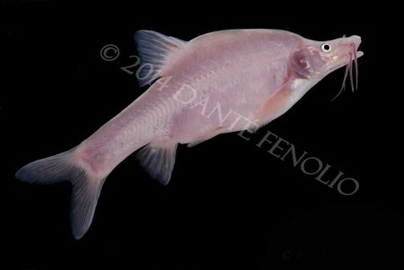 This is the kind of cavefish Daphne was after (Sinocyclocheilus)