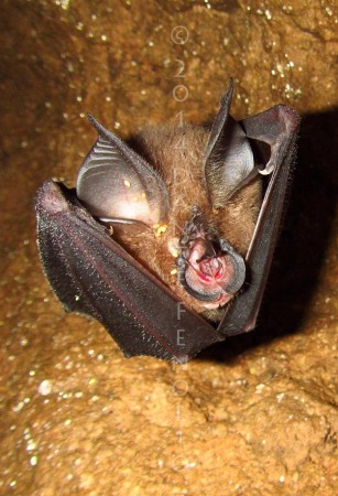 A sleeping bat hanging from the cave ceiling