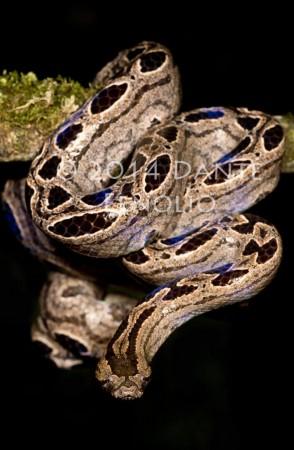Bromeliad Boa at Parque Reptilandia (Ungaliophis panamensis)