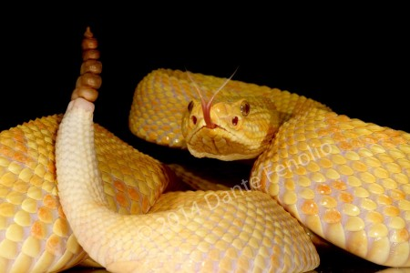 Albino Crotalus durissus collineatus found around Jataí, Goiás, Brazil.