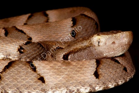 Bothrops moojeni