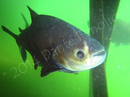 Diving with Pacu @ Caldas Novas, Goias, Brasil.