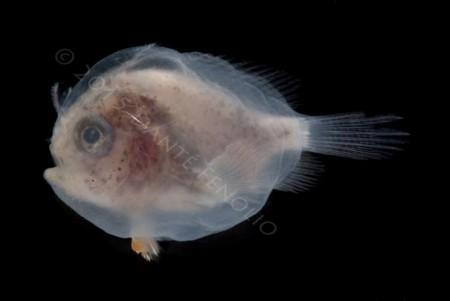 Antennariid anglerfish larvae