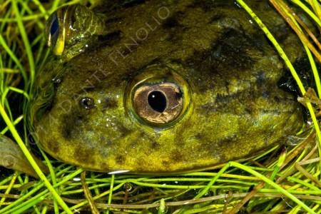 Chilean Widemouth Frog (Calyptocephalella gayi)