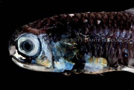 Lampfish, Diaphus mollis