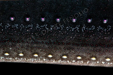 Photophors on the Threadfin Dragonfish (Echiostoma barbatum)