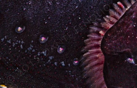 Photophore detail on the Threadfin Dragonfish (Echiostoma barbatum)