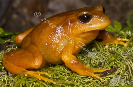 The Chilean Tomato Frog (Eupsophus altor)