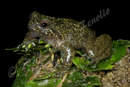 We devoted a considerable amount of our field time last year to surveying streams for the Mehuín Green Frog, Insuetophrynus acarpicus.  This species has suffered from habitat loss and is widely considered one of the most endangered frog species.