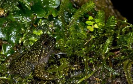 Mehuín Green Frog, Insuetophrynus acarpicus