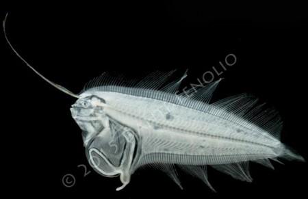 Larval Deepwater Flatfish, Monolene sessilicauda