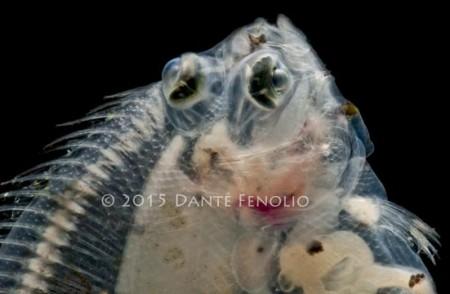 Larval flatfish, Poecillopsetta beani