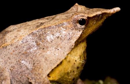 A male Darwin's Frog with babies in his vocal sac (Rhinoderma darwinii)