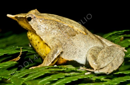 A male Darwin's Frog with babies in his vocal sac (Rhinoderma darwinii)