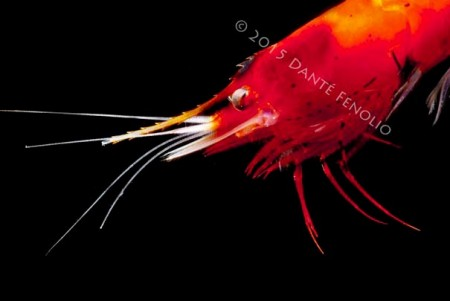 Deep Sea Shrimp, Systellaspis debilis