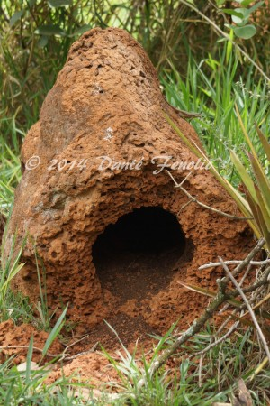 These internal chambers have a greater humidity, lower temperature, and they provide hiding places for countless small forms of wildlife.  Nelson and I published a paper on the herpetofauna of the Cerrado's termite mounds with other colleagues several years back.