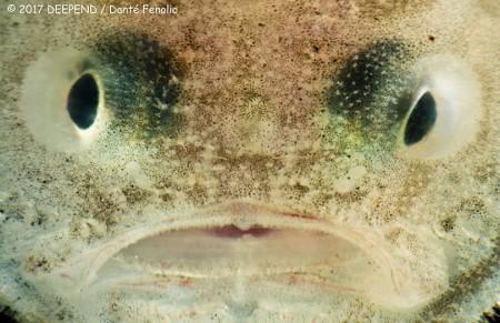 A Sutkis Toadfish (Chaunax suttkisi)