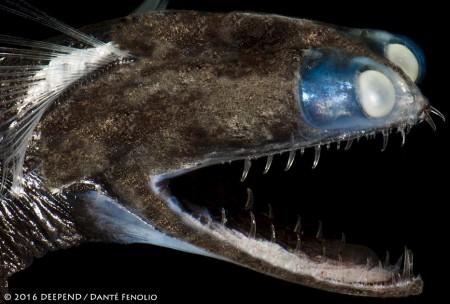Telescopefish (Gigantura chuni)