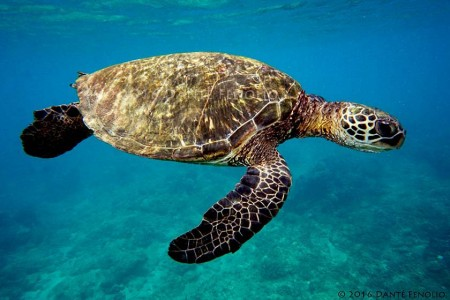 Lots of Green Sea Turtles (Chelonia mydas)