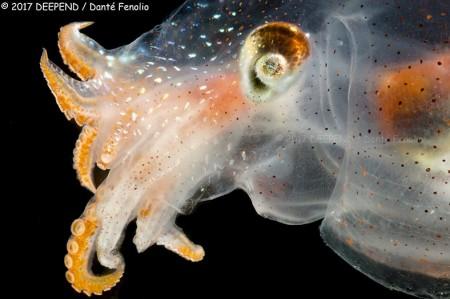 "The ""Diaphanous Pelagic Octopod"" (Japetella diaphana) - Gulf of Mexico, May 2017."